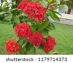 spike flowers or red flowers in ... | Shutterstock . vector #1179714373