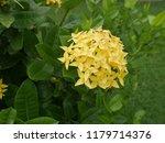 spike flowers or red flowers in ... | Shutterstock . vector #1179714376