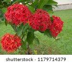 spike flowers or red flowers in ... | Shutterstock . vector #1179714379