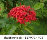 spike flowers or red flowers in ... | Shutterstock . vector #1179714403