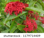 spike flowers or red flowers in ... | Shutterstock . vector #1179714409