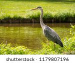 A beautiful large gray heron ...