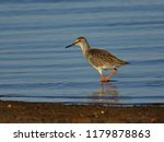 the common redshank  tringa... | Shutterstock . vector #1179878863