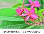frangipani flowers it has its... | Shutterstock . vector #1179900049