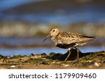 dunlin  calidris alpina  in... | Shutterstock . vector #1179909460