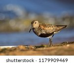 dunlin  calidris alpina  in... | Shutterstock . vector #1179909469