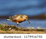 the red knot  calidris canutus  ... | Shutterstock . vector #1179916750