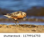 the red knot  calidris canutus  ... | Shutterstock . vector #1179916753