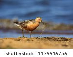 the red knot  calidris canutus  ... | Shutterstock . vector #1179916756