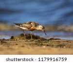 the red knot  calidris canutus  ... | Shutterstock . vector #1179916759