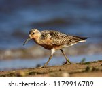 the red knot  calidris canutus  ... | Shutterstock . vector #1179916789