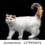 Stock photo exotic cat isolated on black background in studio 1179954076