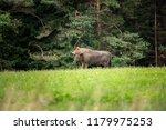 majestic european bison  bison... | Shutterstock . vector #1179975253