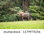 majestic european bison  bison... | Shutterstock . vector #1179975256