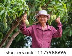 asian farmer picking raw mango... | Shutterstock . vector #1179988696