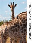 a baby giraffe  giraffa... | Shutterstock . vector #1179990703