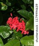 beautiful spike flower blooming ... | Shutterstock . vector #1179994639