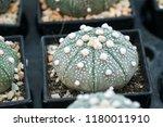 green cactus plants in pots ... | Shutterstock . vector #1180011910