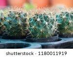 green cactus plants in pots ... | Shutterstock . vector #1180011919