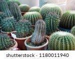 green cactus plants in pots ... | Shutterstock . vector #1180011940