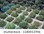 green cactus plants in pots ... | Shutterstock . vector #1180011946