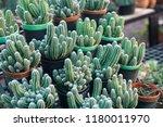 green cactus plants in pots ... | Shutterstock . vector #1180011970