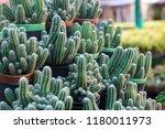green cactus plants in pots ... | Shutterstock . vector #1180011973