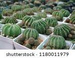 green cactus plants in pots ... | Shutterstock . vector #1180011979
