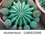 green cactus plants in pots ... | Shutterstock . vector #1180012000