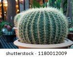 green cactus plants in pots ... | Shutterstock . vector #1180012009