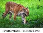 majestic royal bengal tiger at... | Shutterstock . vector #1180021390