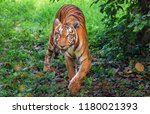 majestic royal bengal tiger at... | Shutterstock . vector #1180021393