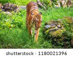majestic royal bengal tiger at... | Shutterstock . vector #1180021396