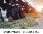 Many Cows Stand In The Barn An...