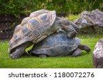 Two Aldabra Giant Tortoises...