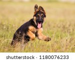 German Shepherd Puppy Runs On...
