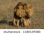 Two Wild Male Lions Brother ...