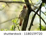 nightingale  luscinia... | Shutterstock . vector #1180159720