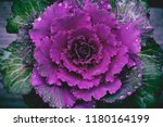 Brassica Oleracea  Ornamental...