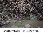 A Purple Starfish Surrounded B...