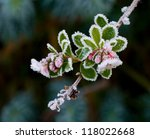 Pink Escallonia Buds And...