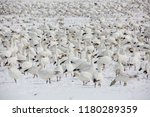 White Snowgeese In The Snow