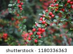 Bright Red Berries Of Bearberry ...