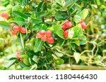 mango lime booze | Shutterstock . vector #1180446430