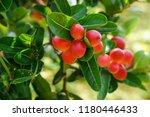 mango lime booze | Shutterstock . vector #1180446433