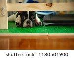 French Bull Dog Puppy Portrait...