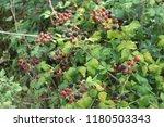 Blackberry Fruit  Ripe And...