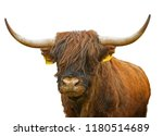 highland cattle cow and bull... | Shutterstock . vector #1180514689