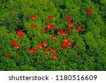 scarlet ibis  eudocimus ruber ...   Shutterstock . vector #1180516609