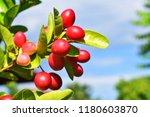 mango lime booze | Shutterstock . vector #1180603870